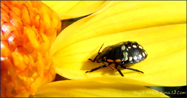 macro,bug,stink,petal,yellow