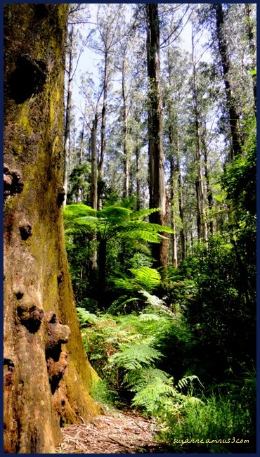 image, sherbrooke forest, victoria