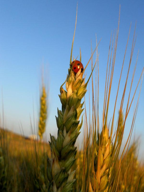 wheat durum lady bug