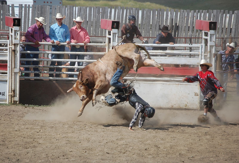 rodeo bull cowboy