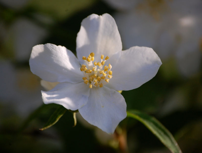 Mock Orange Blossom 2/2