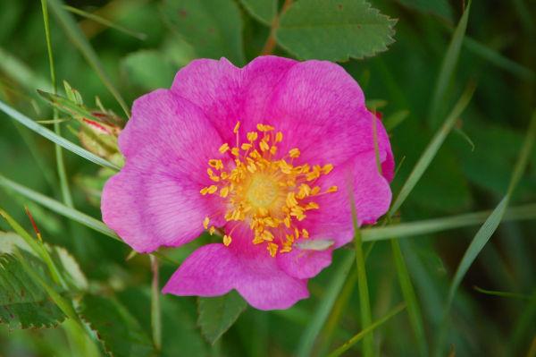 Wild Rose 1
