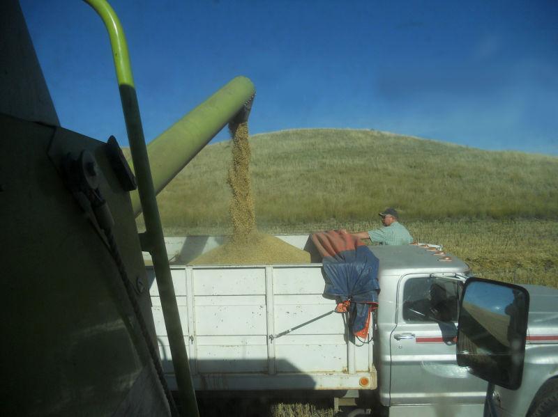 Unloading barley