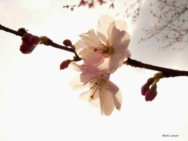 fleur de cerisier japonnais