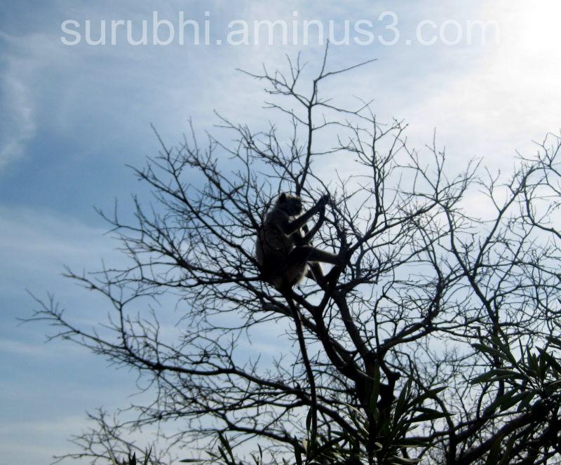 Monkey in Nahargarh Fort
