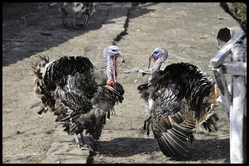Ref Shot: Ukrainian Turkeys