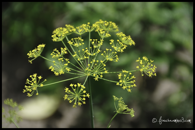 Ref: Top Down Dill Flower