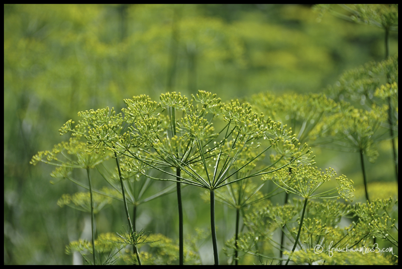 Ref: Forest of Dill Flowers