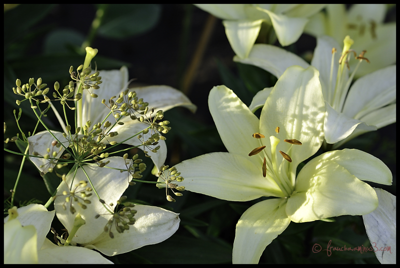 Lilies & Dill