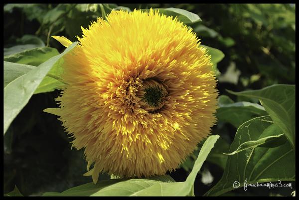Sunflower family?