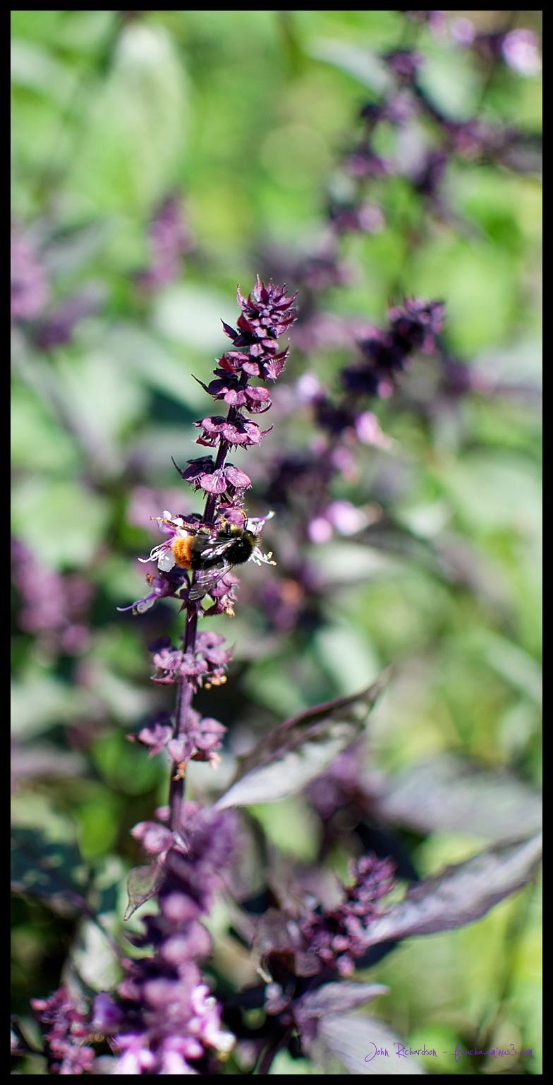 Little Bee Buddy On Purple Basil