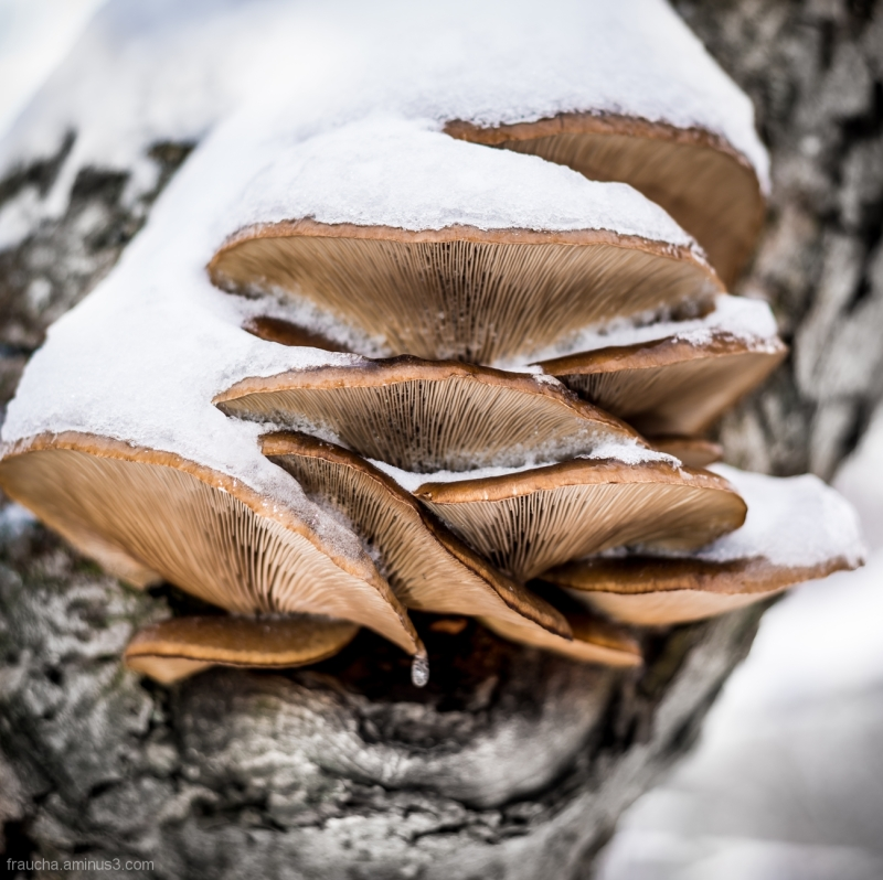 Snow Mushrooms