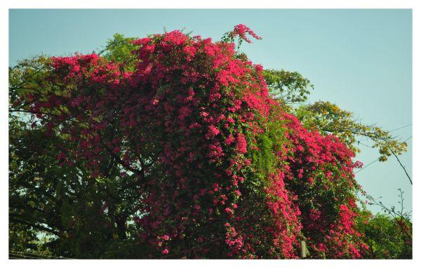 Bangalore, in full bloom!