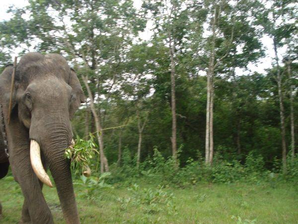 tamed tusker @ nagarhole national park