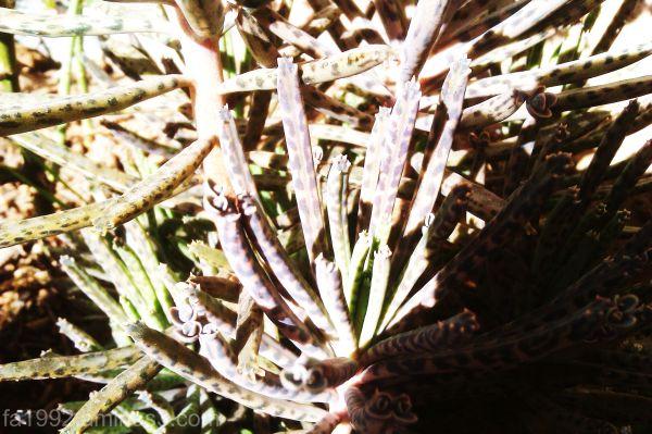 Cactus again