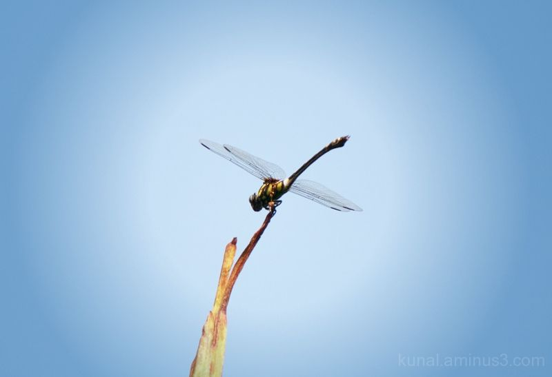 Dragon fly sits on top of a coconut tree.