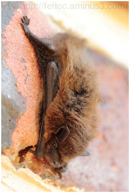 bats chauve souris pipistrelle