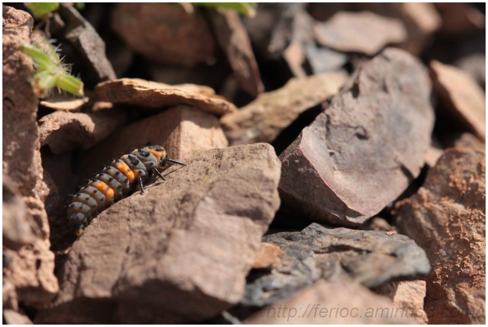 Larve de coccinelle / Ladybug larvae