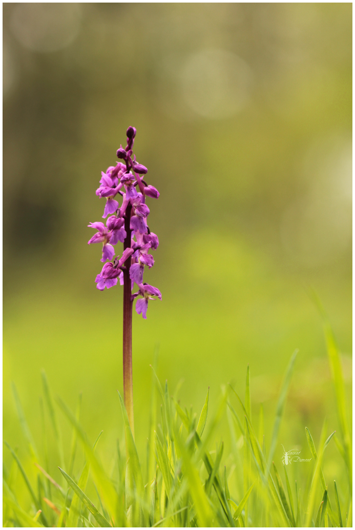 Ophrys mascula