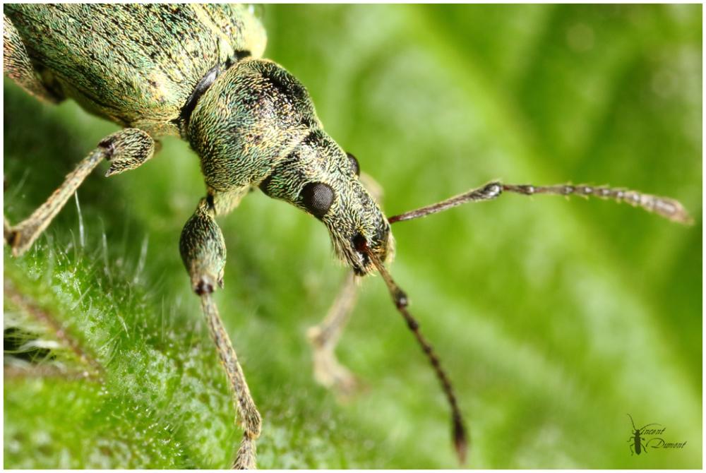 Phyllobius
