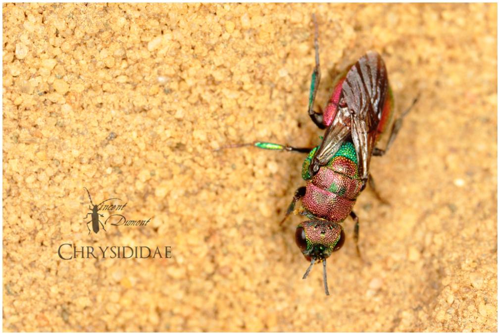 Chrysididae