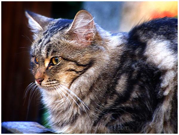 persian cat  I