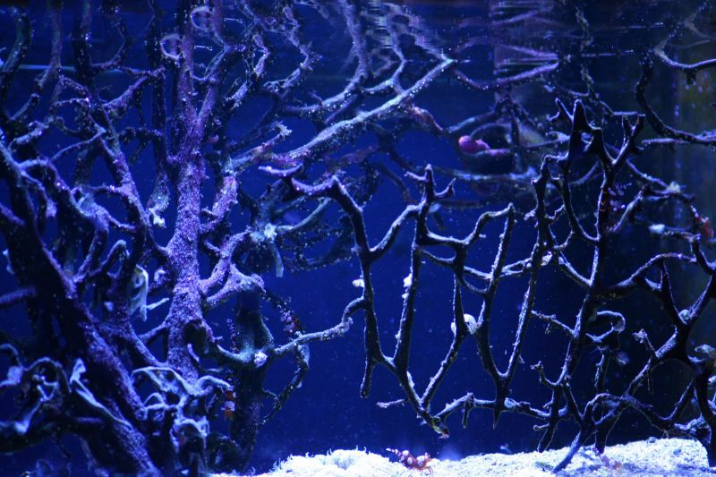 hellFire anemone