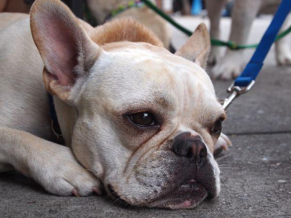 French Bulldog, NYC