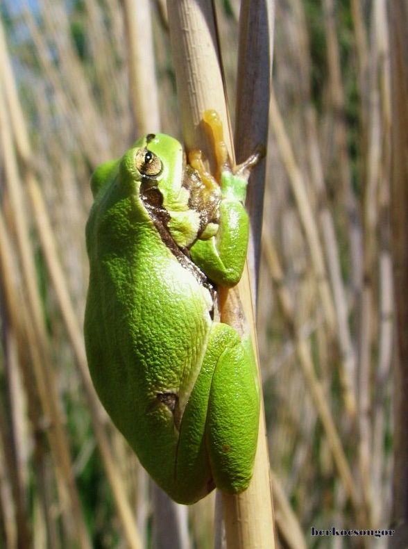 Green frog on a cane.