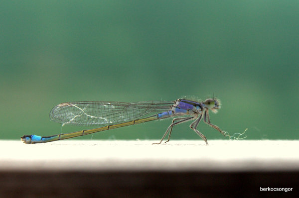 Blue-green dragonfly on a rest.