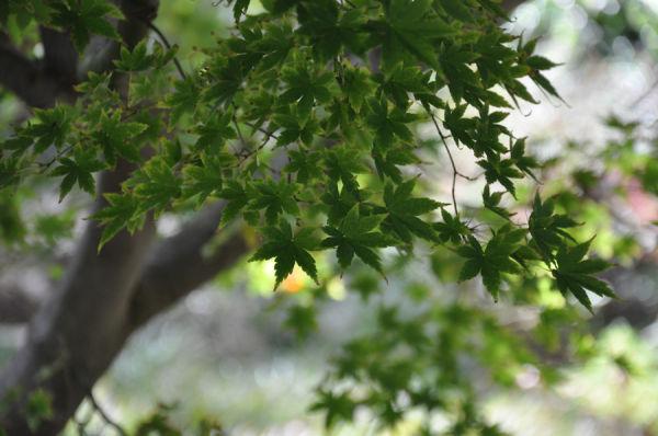Green Maple tree