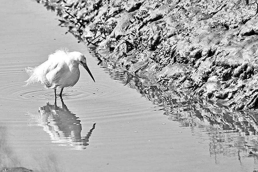 An Egret at Shoreline Park, Tiburon, CA