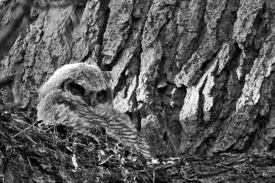 Chick Owl