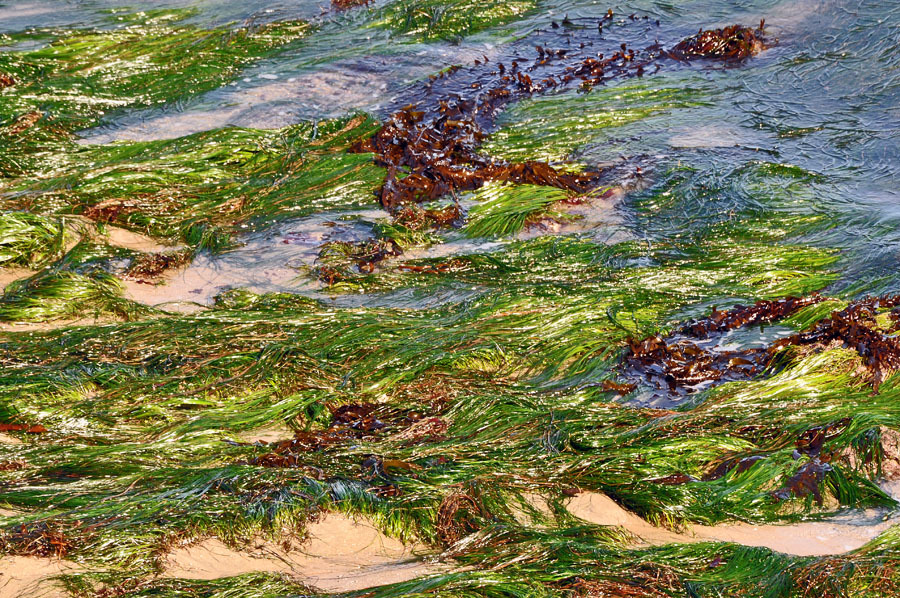 Seaweeds on the beach of Santa Cruz