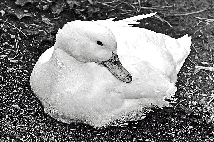Lovely Duck