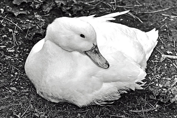 Lovely Duck