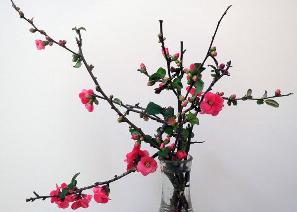 Chines Cherry Blossom