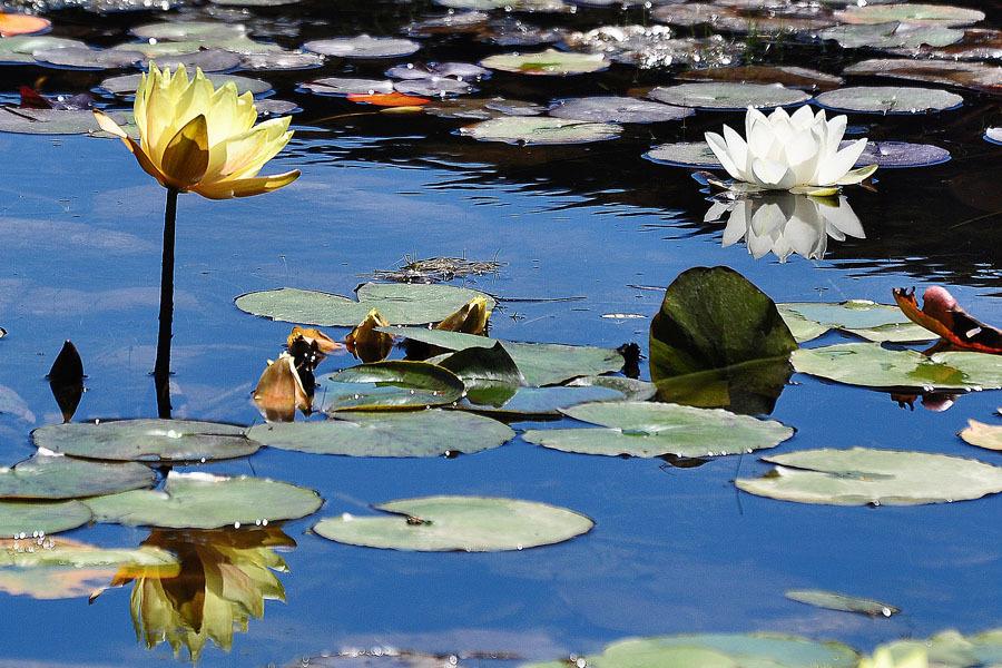 Lilys Pond