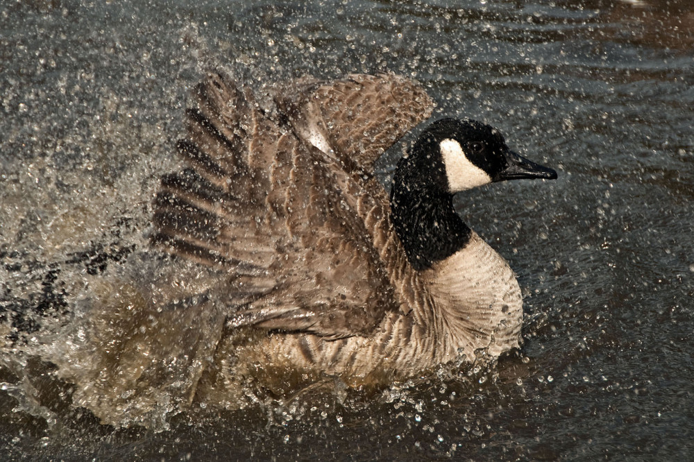Goose taking Bath