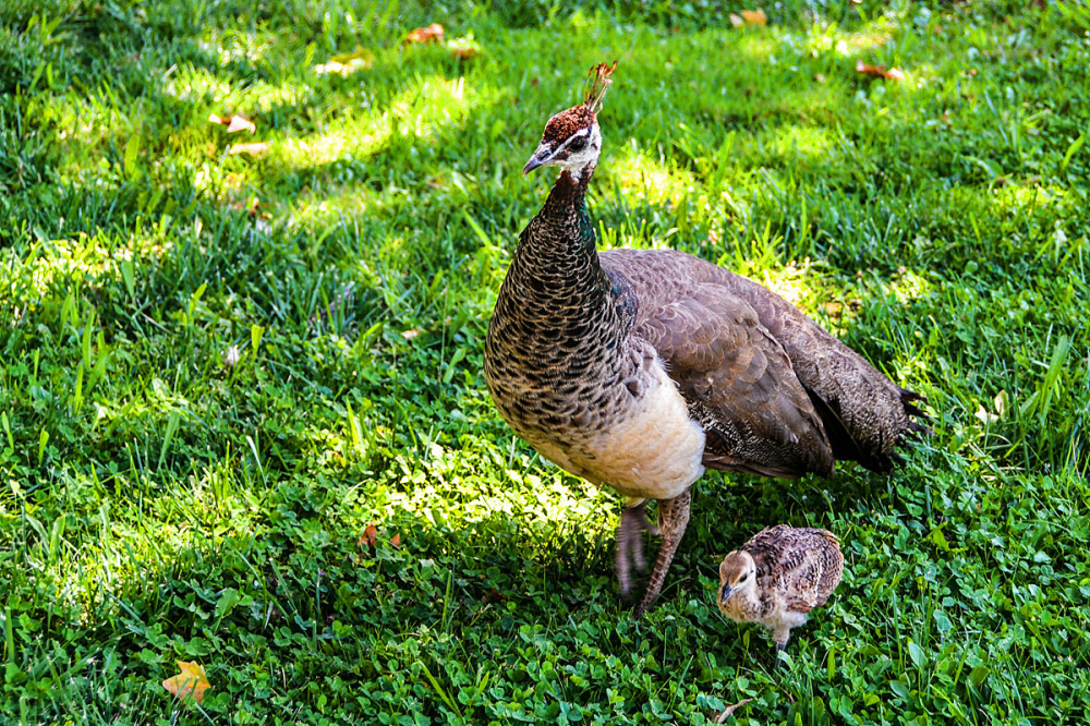Peacocks, Mom & Baby