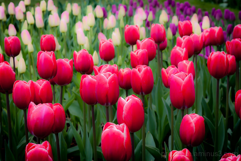 So many tulips!