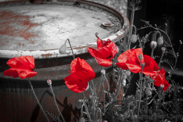 Forgotten Poppies