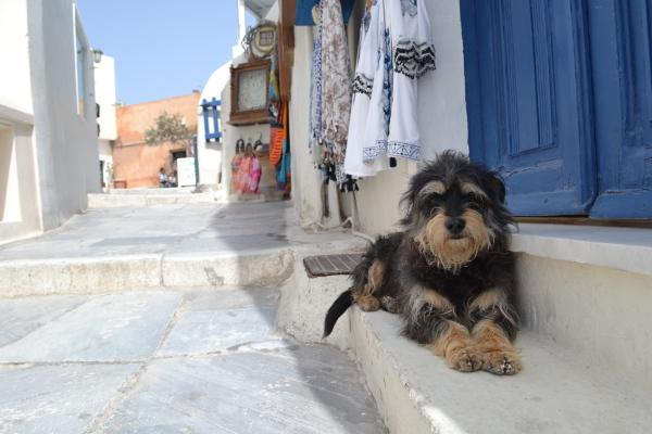 Cute doggie, Oia Santorini