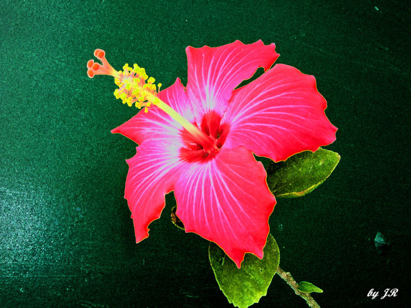Hibiscus on Green