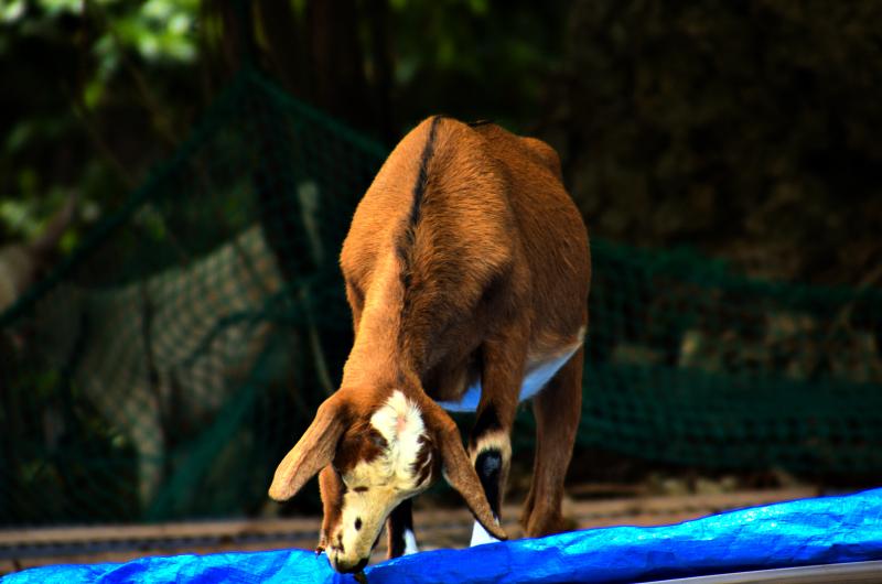 Alpine Goat (?)