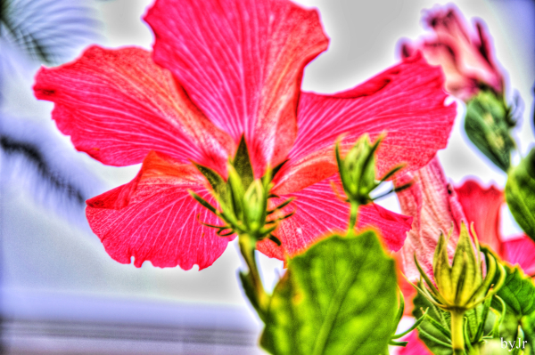 Okinawan hibiscus from the backside.