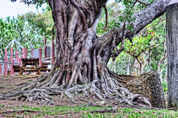 A strange old tree in a city park.