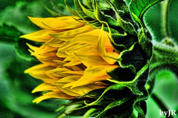 A colorful sunflower, up close.