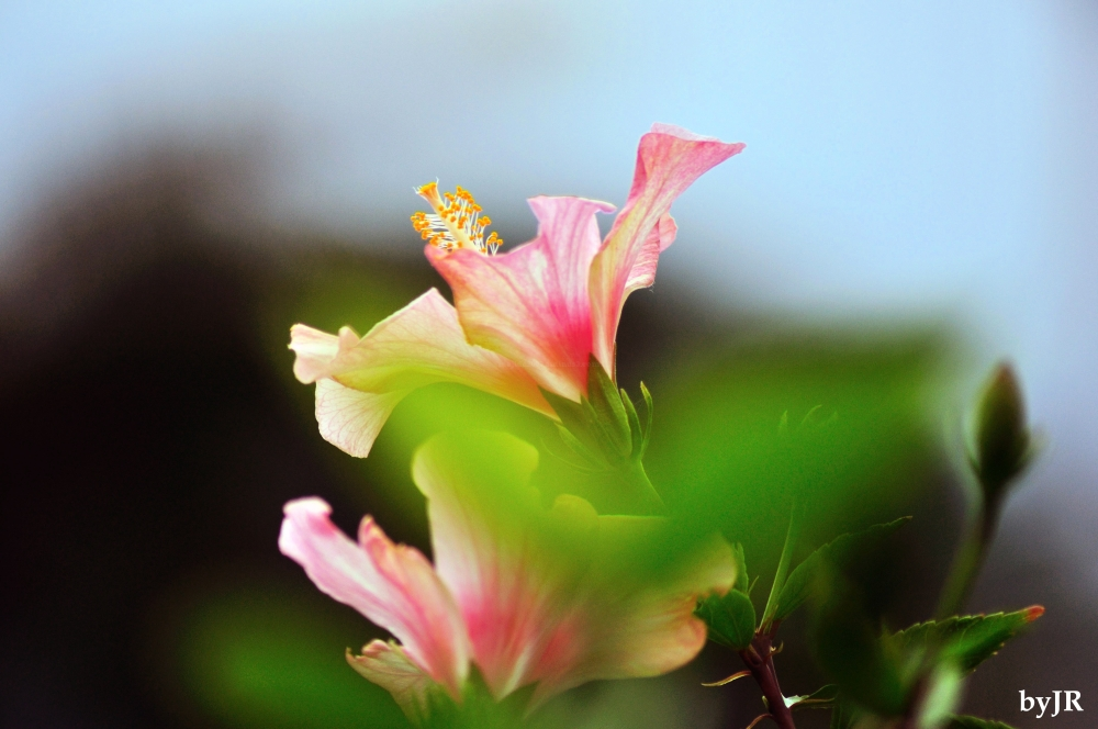 Hibiscus in a soft setting.