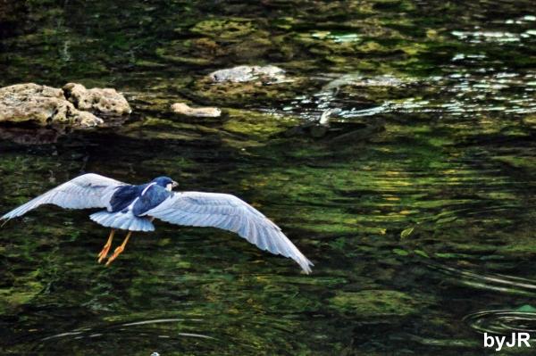 Night heron in flight.